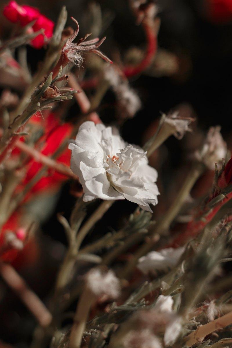 Fiore che non dura, Fernando Pessoa